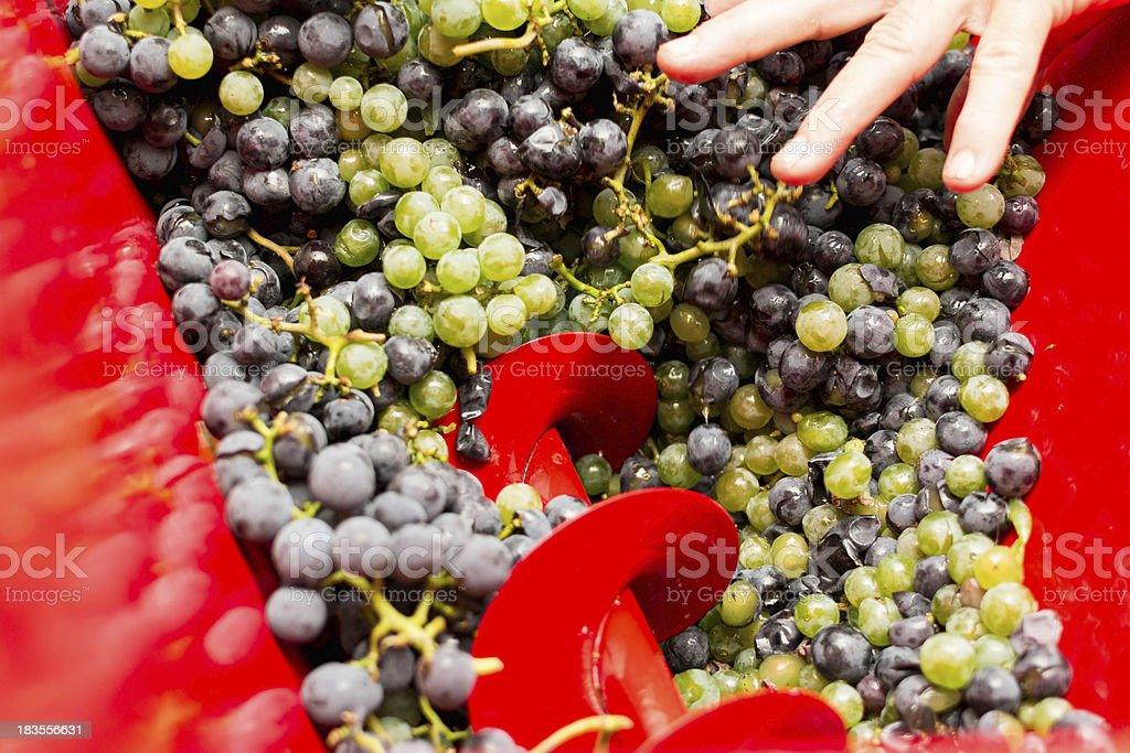 Crushing grapes royalty-free stock photo