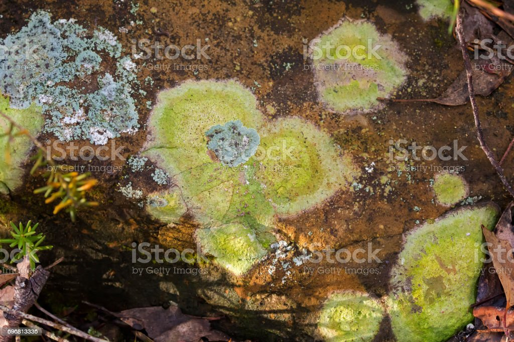 Crustose Lichen in grayish green growing on stone in forest at Cradle mountain, Tasmania, Australia stock photo