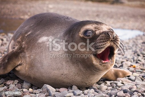 istock Crying Baby Southern Elephant Seal 1160901967