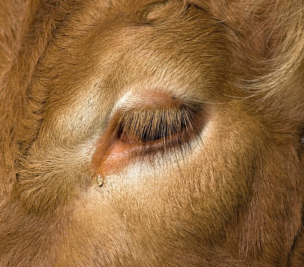 Royalty Free Cow Eyelashes Pictures Images And Stock Photos Istock