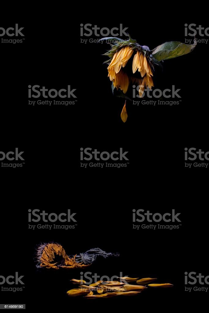 Crying sunflower on black background stock photo