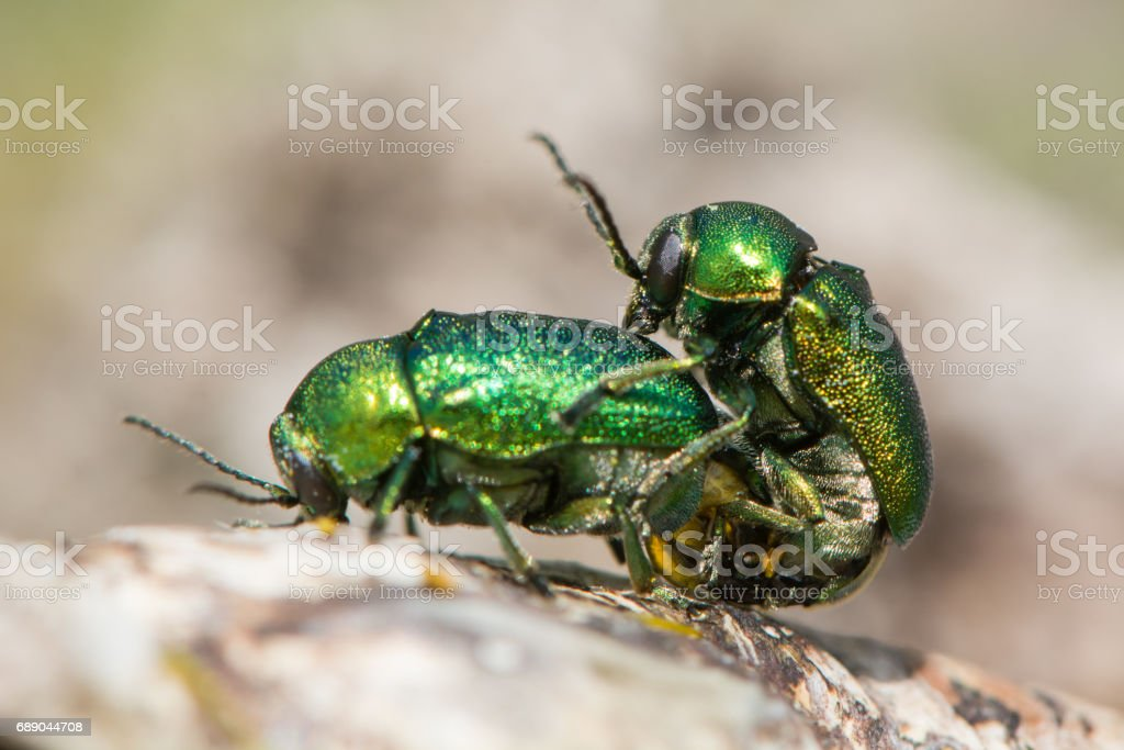 Cryptocephalus aureolus beetles in cop stock photo