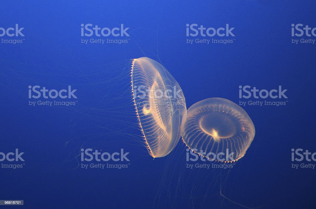 Crystal Jelly stock photo