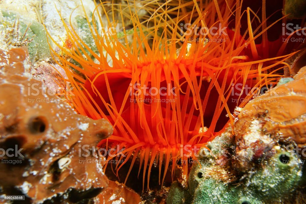 Ctenoides scaber Flame scallop and its tentacles stock photo