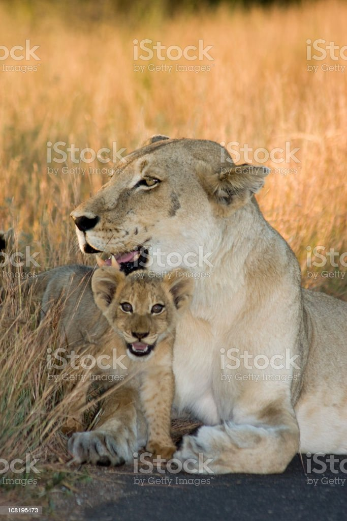 Cub and Mom Lioness royalty-free stock photo