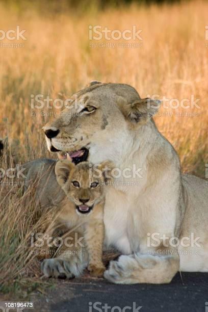 Cub and mom lioness picture id108196473?b=1&k=6&m=108196473&s=612x612&h=fmvgctvgcgijtiffr7sfyn5nreop lfvmol1ddn a8k=