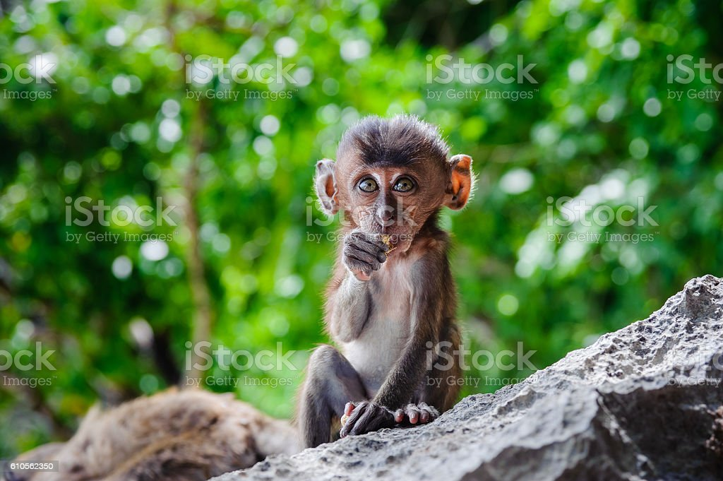 Cub Macaca fascicularis sitting on a rock and eat. stock photo