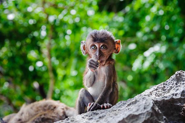 cub macaca fascicularis sitting on a rock and eat. - macaco foto e immagini stock