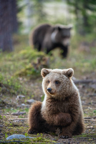 Cub of Brown Bear in the  summer forest. stock photo