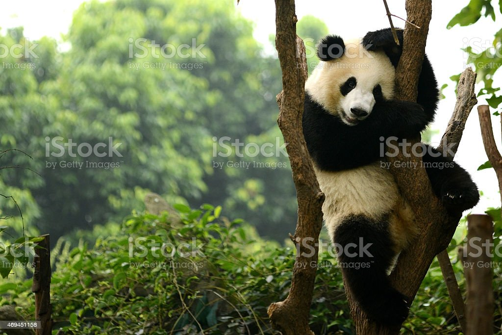 Cub of Giant panda bear playing on tree Chengdu, China stock photo