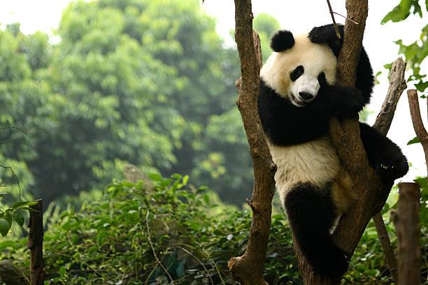 cub de giant panda bear jouant sur arbre chengdu, chine - panda photos et images de collection