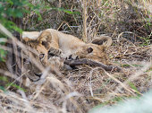 Lion cub lying on it's side, playing with a stick. His brother looking