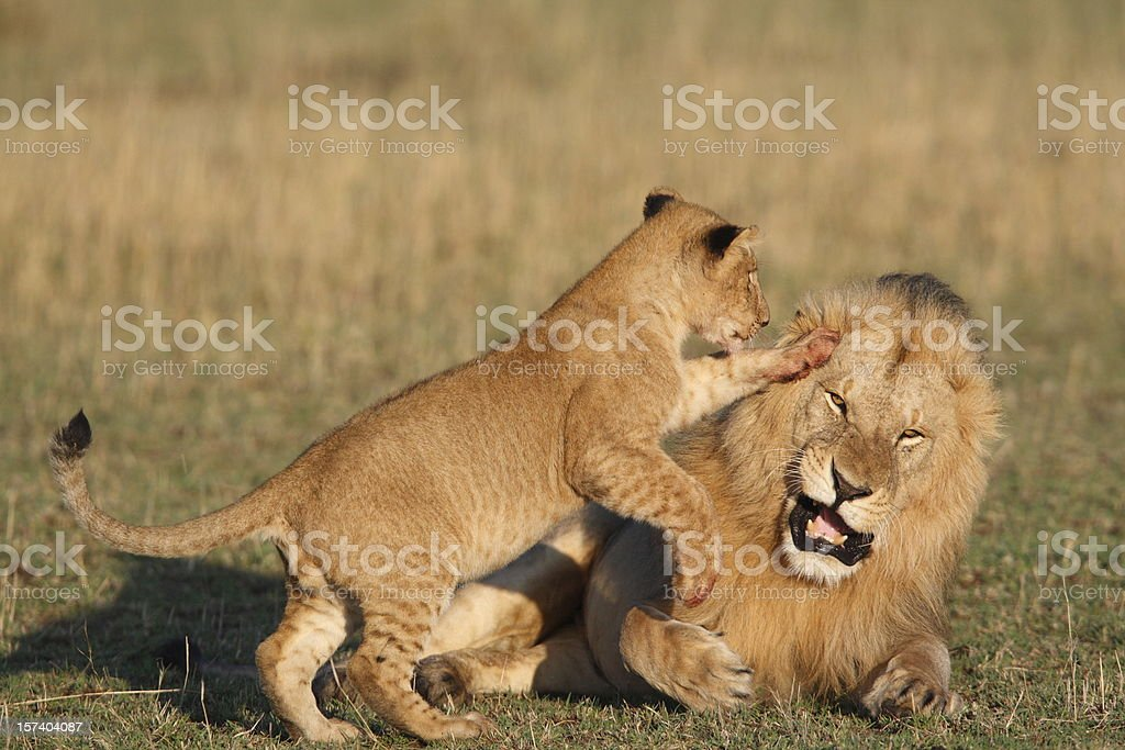 Cub playing with male lion stock photo