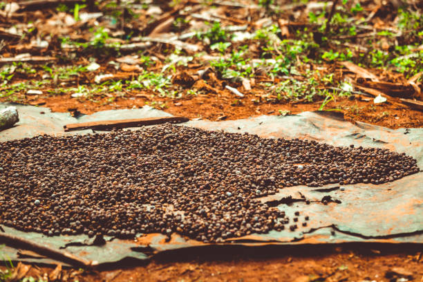 cuban coffee beans drying in sun - katiedobies stock pictures, royalty-free photos & images