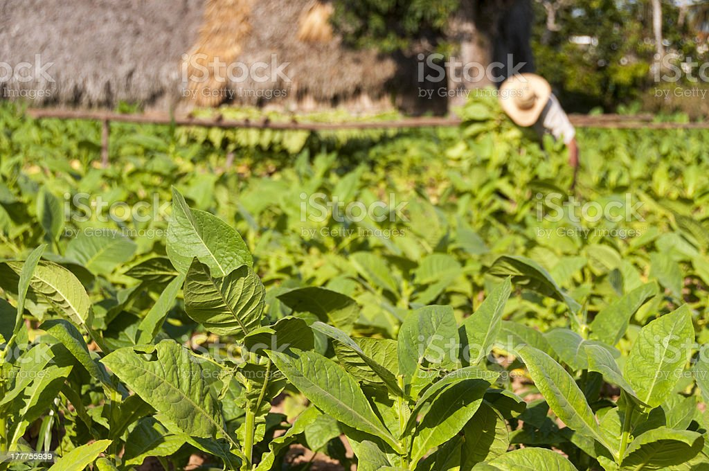 Cuban farmer collects the harvest of tobacco field stock photo