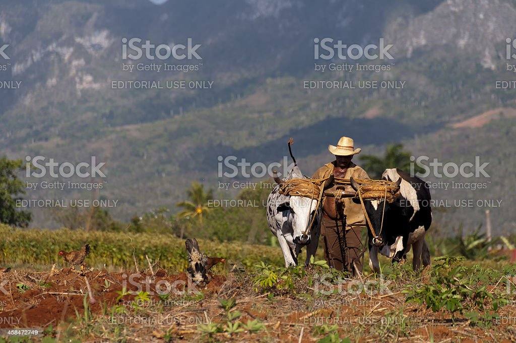 Cuban farmer plows his field with two oxen stock photo