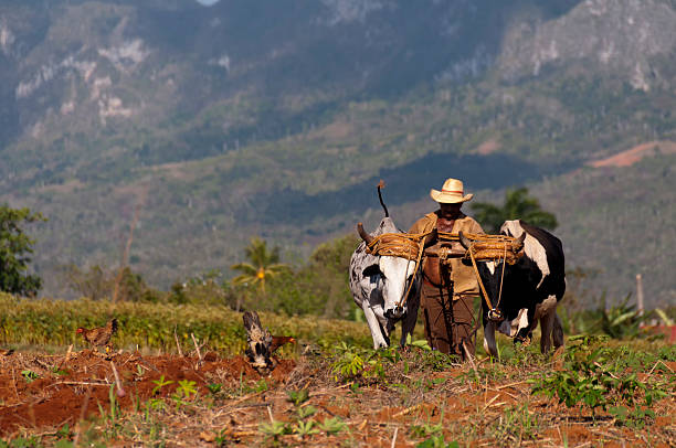 Cuban farmer plows his field with two oxen Vinales, Cuba - March 22, 2012: Cuban farmer plows his field with two oxen on March 22nd in Vinales, Cuba. mahroch stock pictures, royalty-free photos & images