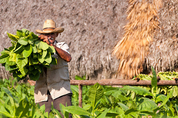 Cuban farmer shows the harvest of tobacco field stock photo