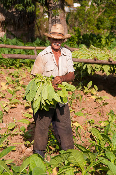 cuban farmer standing in the tobacco field - mahroch stock pictures, royalty-free photos & images