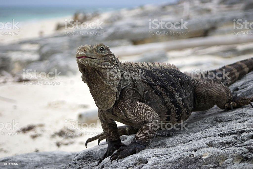 Cuban Iguana royalty-free stock photo