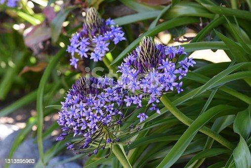 istock Cuban lily (Scilla peruviana). Asparagaceae perennnial plant. 1313895963