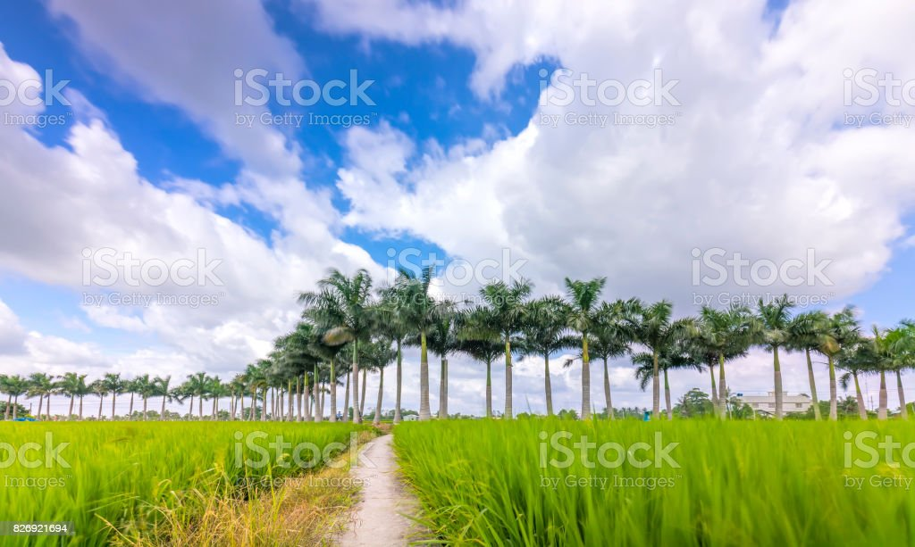 Cuban Royal Palm trees planted along a rural road on rice fields in the countryside stock photo