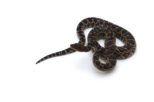 cuban tree boa isolated on white background - snake strike stock photos and pictures