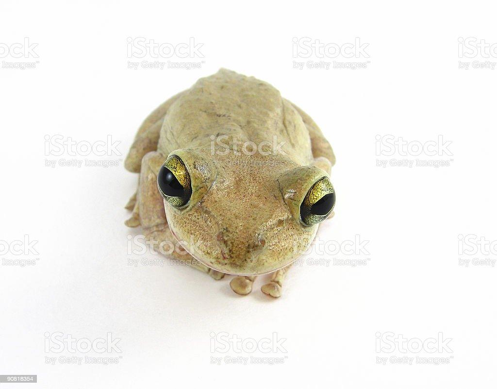 cuban tree frog royalty-free stock photo