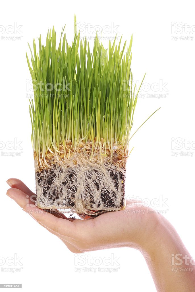 Cube-shaped section of wheat barley seedlings in human hand stock photo