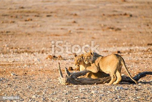 Lion cubs in Etosha National Park, Namibia