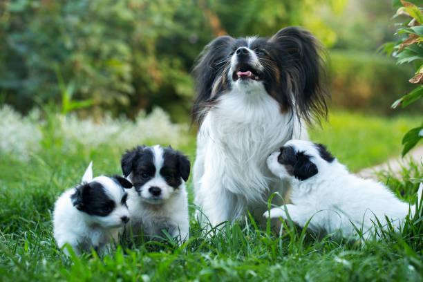 yavrularını anne ile - safkan köpek stok fotoğraflar ve resimler