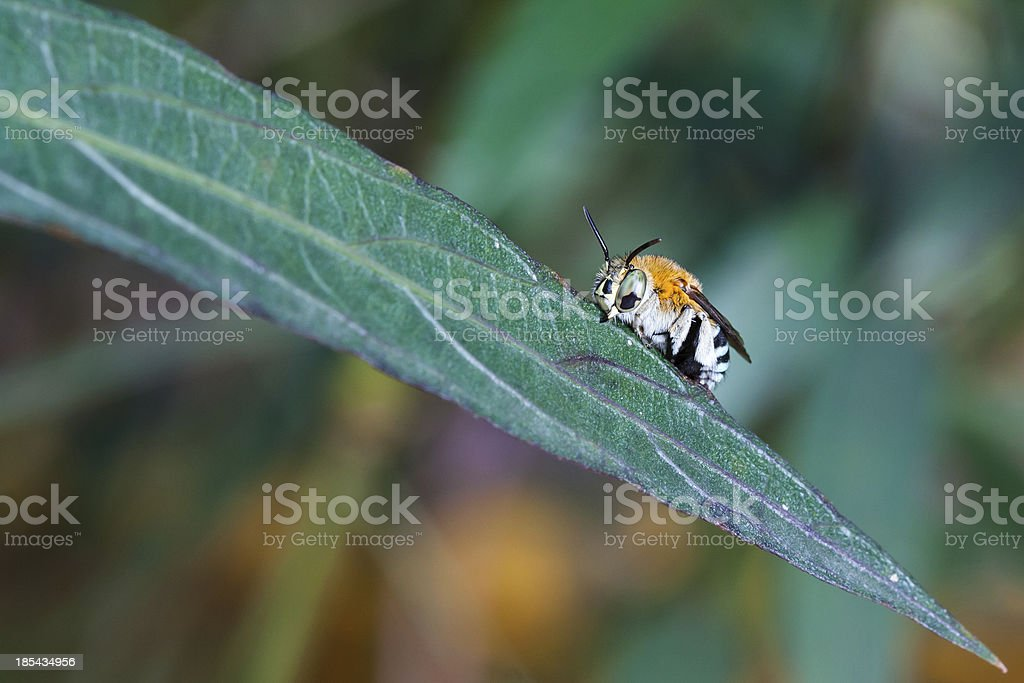 cuckoo bees stock photo