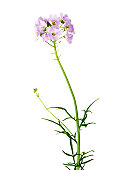 Cuckoo flower, or lady's smock.  Cardamine pratensis