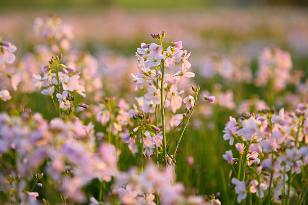 Cuckoo flowers stock photo