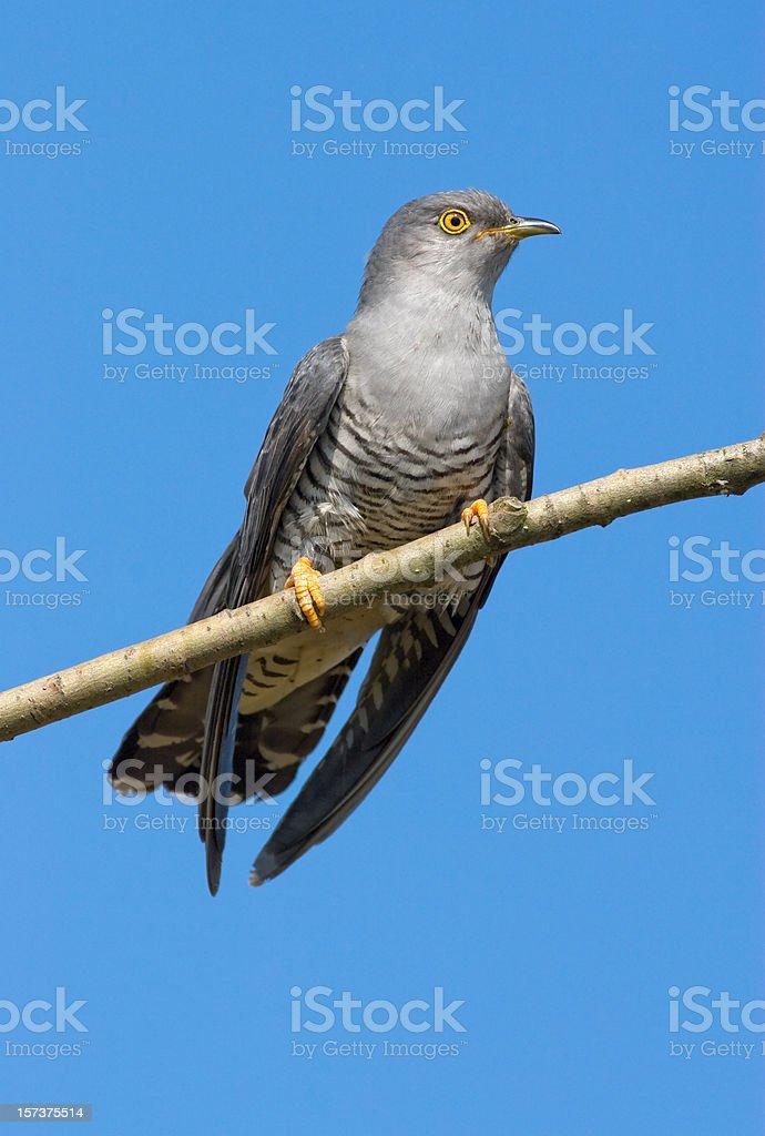 Cuckoo royalty-free stock photo