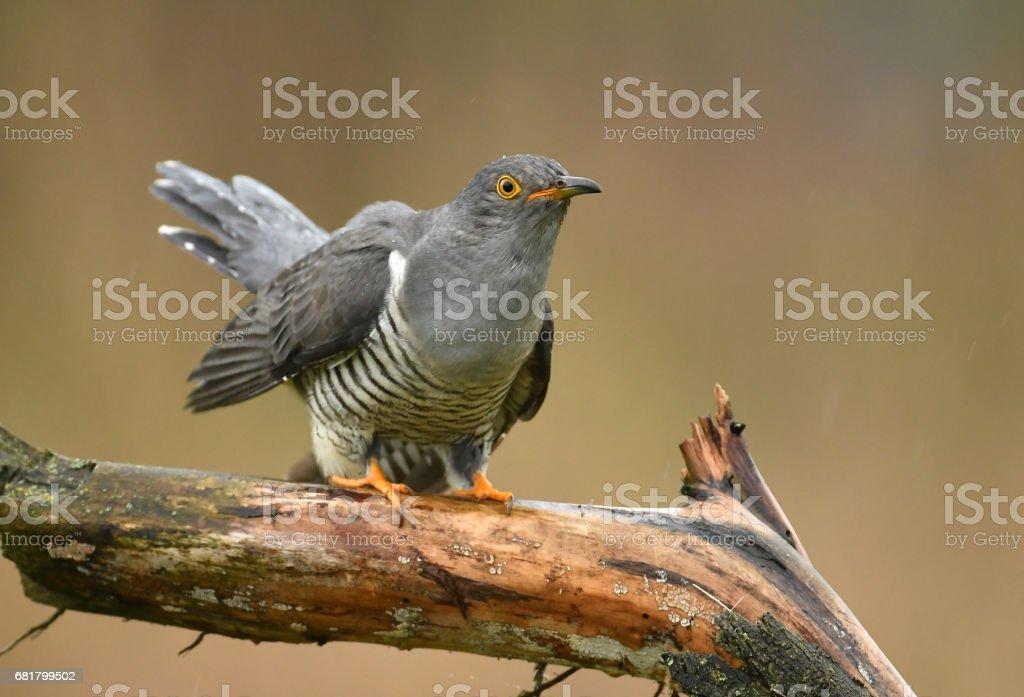 Cuckoo stock photo