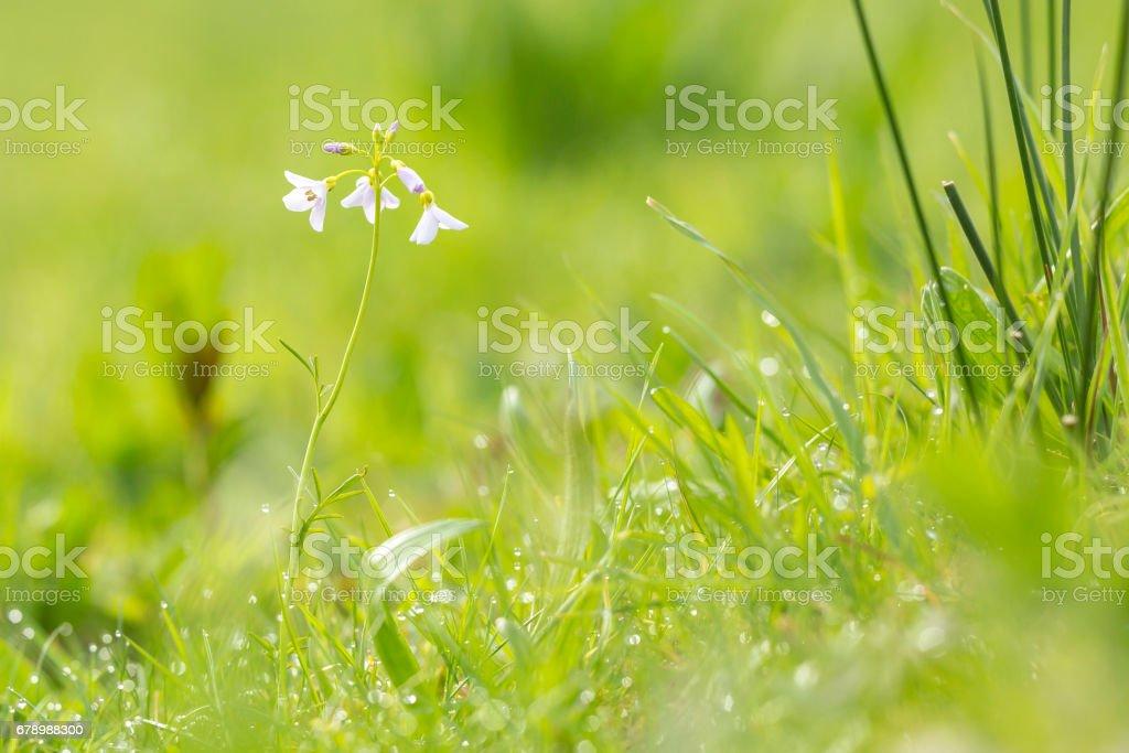 Cuckooflower (cardamine pratensis) qui fleurit dans une prairie humide et fraîche photo libre de droits
