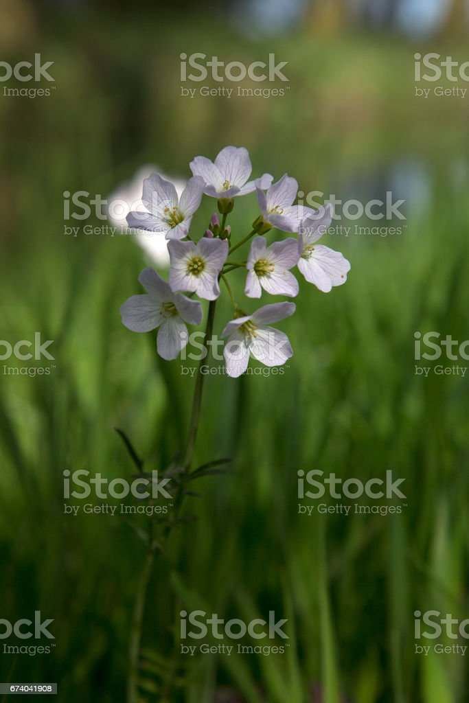 Cuckoo-flowers in a meadow royalty-free stock photo