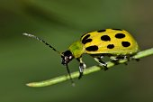 A Cucumber Beetle (Diabrotica undecimpunctata) on a pine needle. These pretty beetles are considered pests in the US and feed on crops such as cucumbers and corn.