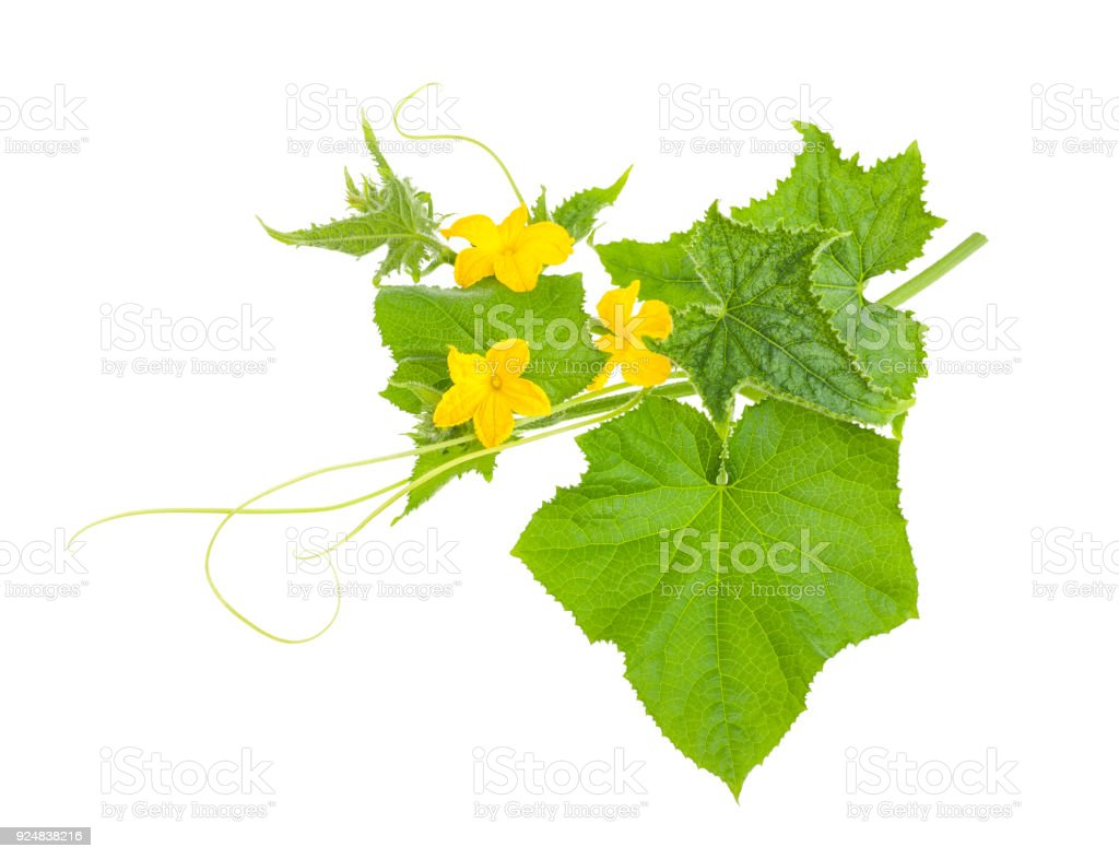 cucumber branch with flowers stock photo
