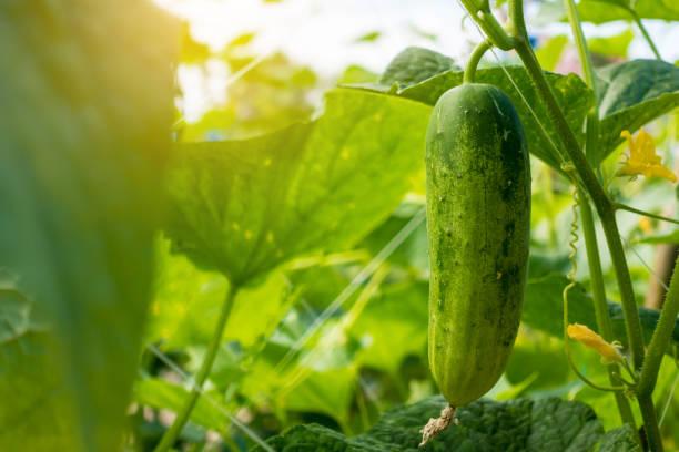 Cucumber in the garden stock photo