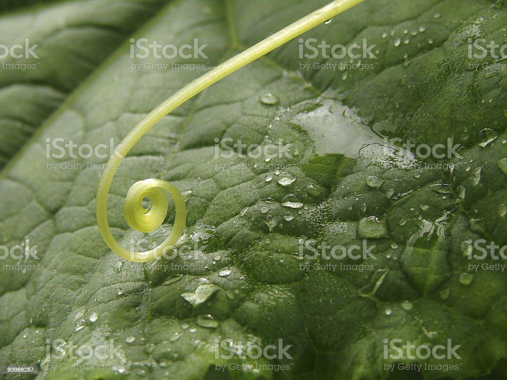cucumber leaf royalty-free stock photo