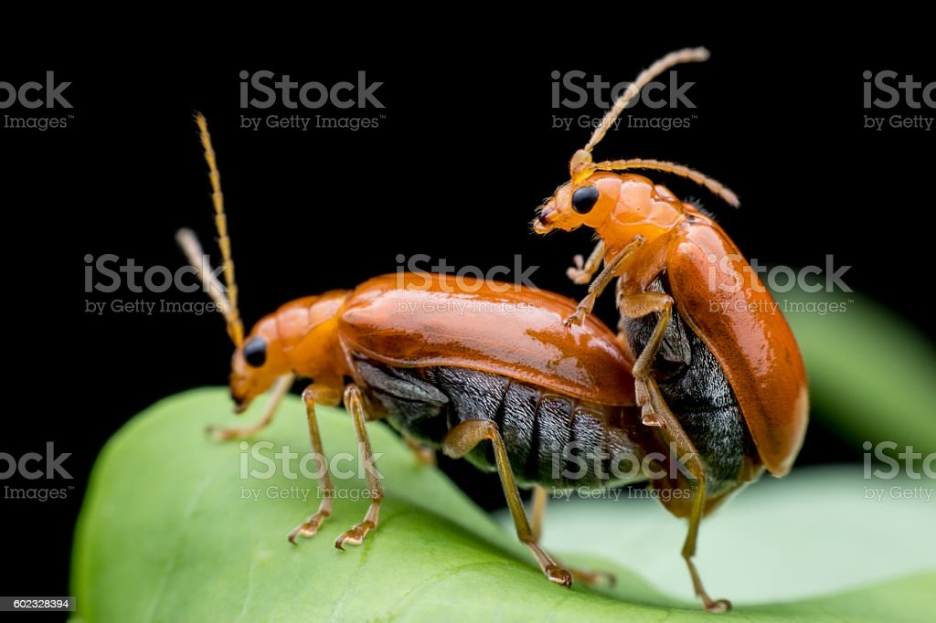 Cucumber or Cucurbit beetle stock photo