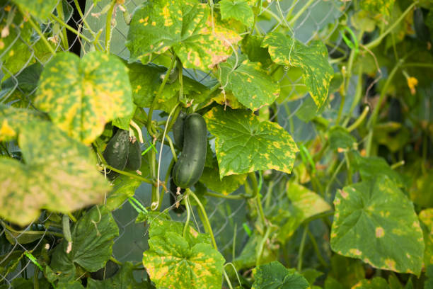 cucumber plant affected by diseases stock photo