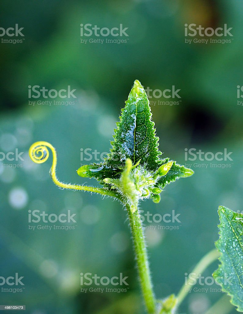 Cucumber, plant, leaves. stock photo