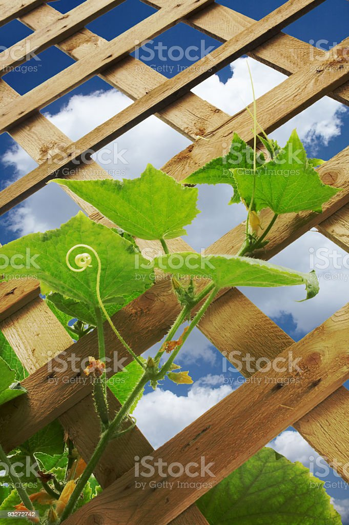 Cucumber Plant royalty-free stock photo