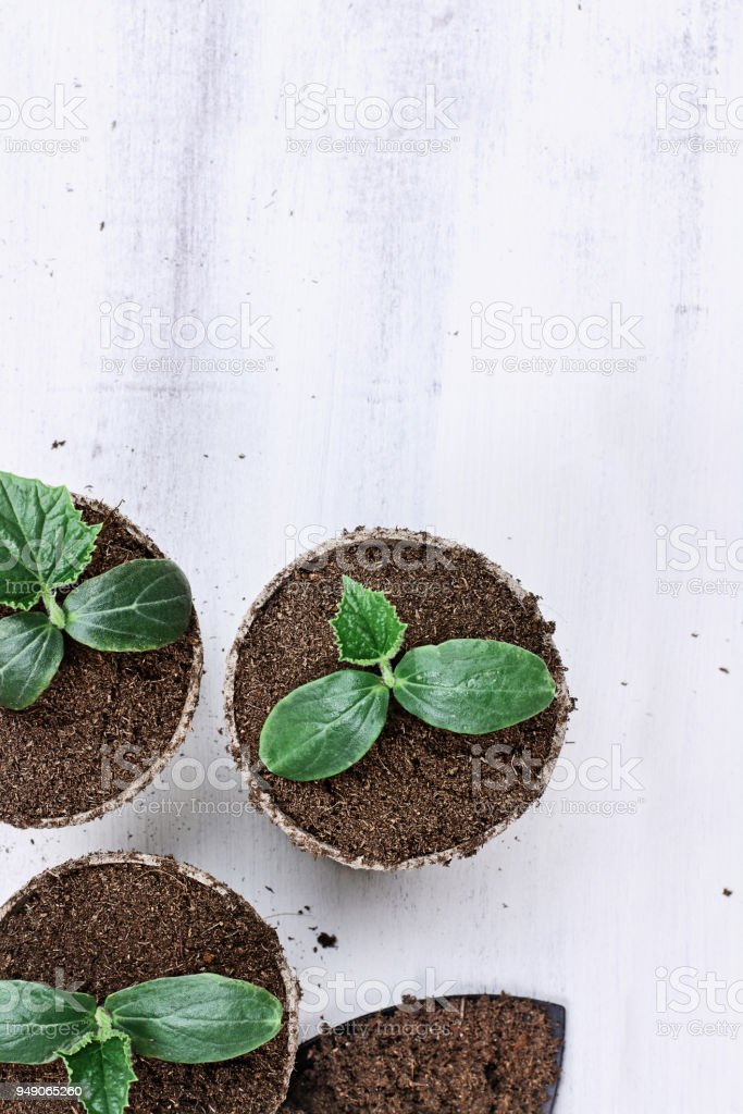 Cucumber Plants in Seedling Peat Pots stock photo