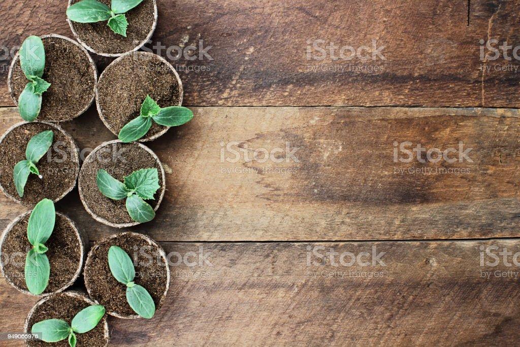 Cucumber Plants in Seedling Peat Pots stock photo