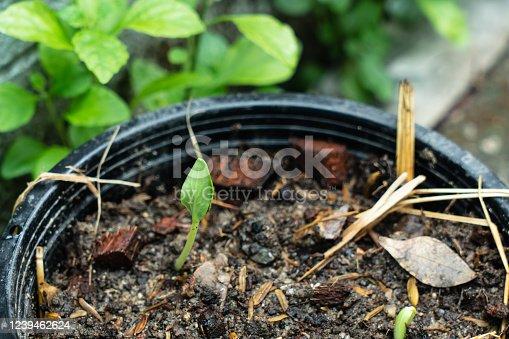Cucumber seedling growing in plastic pot