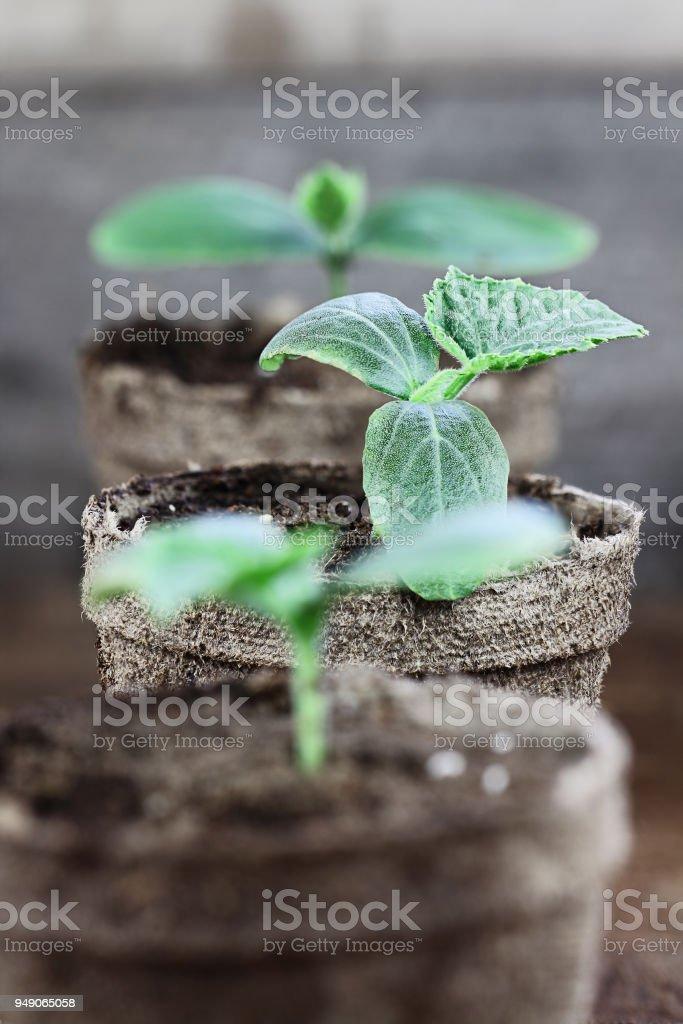 Cucumber Seedlings in Peat Pots stock photo